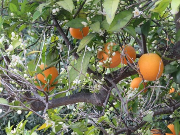 Last years oranges still hanging from the branches while this years flowers start to burst with heavenly scent.