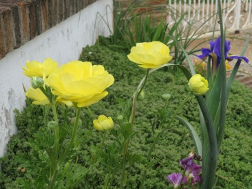 I loved the deep yellow and the sole iris nearby.