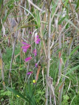 My first wild gladioli of the season. One of my favourite wild flowers. I saw it hiding in a bamboo grove!!