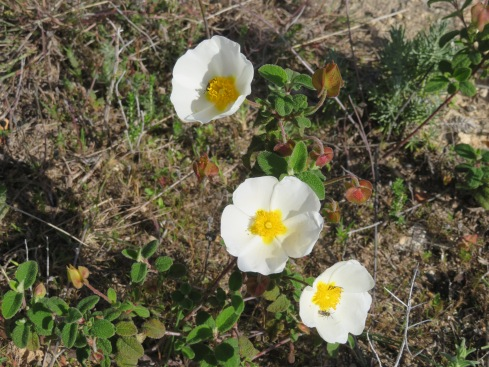 The hillsides are alive with dancing cistus.