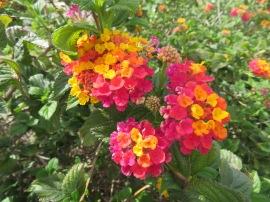 Lantana, in bloom since we arrived in November.