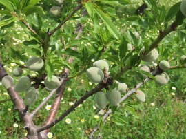 Look at the size of the almonds........only a month ago they were flowers.