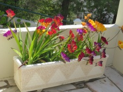 This gorgeous, heavenly scented pot of freesia was decorating a lovely patio that overlooked the valley below.