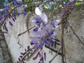 Wisteria is in various stages of blooming.