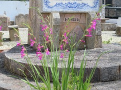wild gladioli