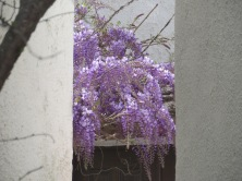 Wisteria is in full bloom.