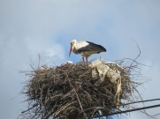 I promised a photo of a baby stork but this is the best I can offer up to this point. This nest was the lowest one I have seen and I stood there waiting for something but..........I'll keep trying!