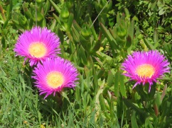 Huge patches of this wonderful flowering succulent called Hottentot Fig. Iove the name.