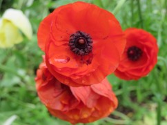 Poppies galore in multiple colours