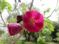 Flowering maple. Intense ruby colour.