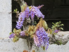Wisteria is filling in all over the place. It creates such warmth with the colour and the long hanging blooms