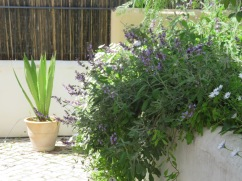This huge sage plant is on our back patio. Perfect for grabbing a handfull when the recipe demands it. Also beautiful to look at and smell.