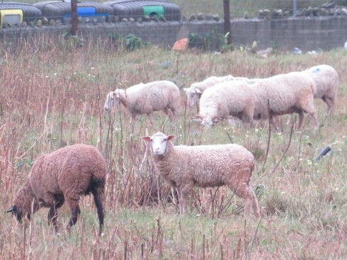 This huge herd of sheep were right around the corner from the quinta. They were nervous, but also a tiny bit curious of my presence. I love watching them and how they move as a unit sometimes.