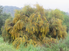 """This gorgeous mimosa tree, heavy with the morning rain, is still hanging onto it's blooms. I would have called it a """"yellow popcorn tree""""!!"""