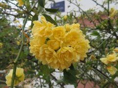 This is one of the plants that I love the most around here, especially at this time of year. I think it's called a rock rose........the yellow is soft and rich and the blossoms are delicate and beautiful lookingn.