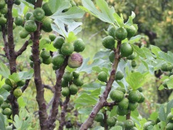 These next four photos were taken one beside the other...in the same garden.......look at this crop of figs!!!