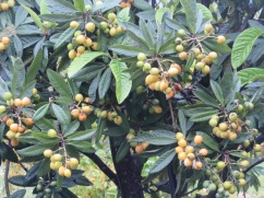 And finally, this nespera, or loquat.......laden with fruit.