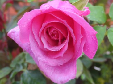 This rose, scentless but gorgeous nonetheless.