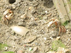 Speaking of lively, the crabs were scurrying about the beach.