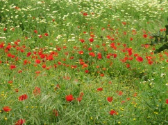 It is most certainly the week of the poppies. They are everywhere and abundant. Flashes of red or orange are everywhere.