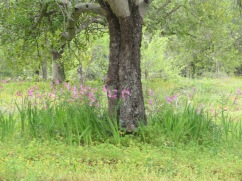 The gladioli are quite prolific right now. They appear to enjoy the shade as you can see how they surrounded this old tree.