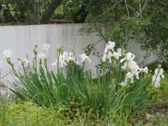 Iris's grown along the roadside here in the Algarve.
