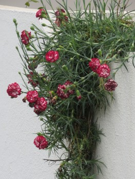 Cascading carnations.