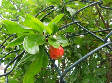 And, the pomegranates have started to form on the trees,