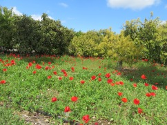 Poppies, poppies and more poppies.........growing in a huge avocado orchard near the house.