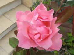 Roses are huge, colourful and for the most part, scentless.