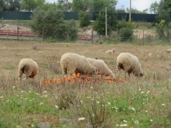 Four large piles of oranges had been dumped in the field for the sheep and to my surprise, they were eating them. I can imagine the cheese their milk might make!!!!