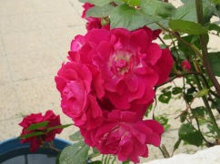 A large bush of these red roses with white interiors. They did have a slight scent.