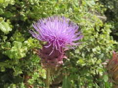 This thistle was right beside the car park and I thought it was quite beautiful. There were actually six of the, about three feet high, in a cluster.