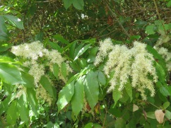 This tall tree was filled with these feathery soft blooms.