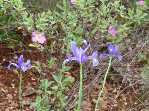 Lovely wispy iris's