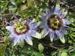 The passion flower vine on the fence near the Pousada is dripping with cluster of large flowers like these two!!