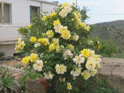 This gorgeous rose bush, which was heavily scented was literally on the side of the road.