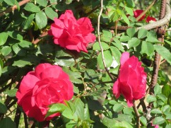 Gorgeous roses in bloom in so many nooks and crannies.