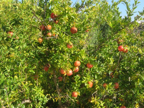 The pomegranates are dangling off the trees reminiscent of Christmas balls.