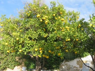 This orange tree is right beside our pool. It's last years crop.