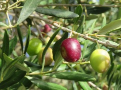 I love seeing all the olive trees bending with fruit and the different coloured olives on the same branch.