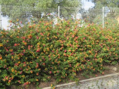 This hedge of lantana is about 20 feet long and six feet tall.