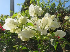 My very favourite, and not very frequently found, white bougainvillea.