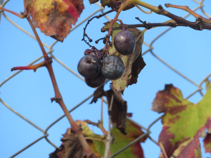 An finally, a few wrinkled grapes clinging to the remnants of a withering vine.