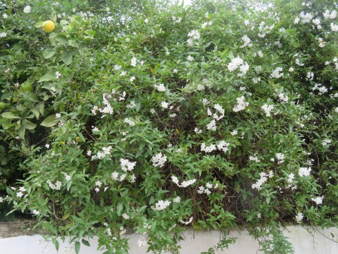 This bush is quite lovely. Looks like jasmine but is scentless.