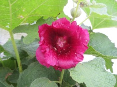 IN the middle of nowhere, a hollyhock!!!