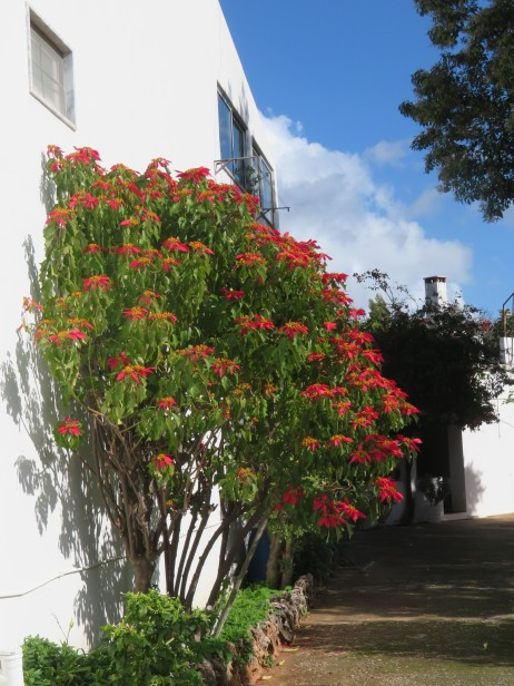 I spotted this lovely poinsettia in full bloom.