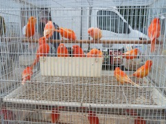 I don't particularly like seeing all the animals and birds for sale, confined to cages BUT....this flock and the next photo, I found exceptionally beautiful