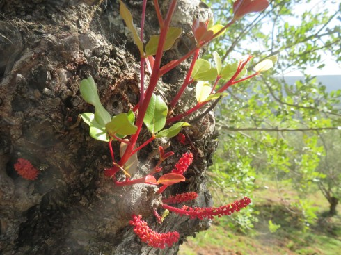 Brand new growth on a carob tree, such intense colour.