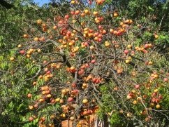 This massive persimmon tree, exploding with ignored fruit. Imagine!!!